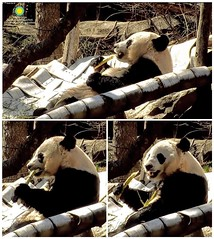 2018_03-18c1 (gkoo19681) Tags: beibei chubbycubby fuzzywuzzy adorableears treattime sugarcane soyummy sunkissed comfy toofers meltinghearts precious toocute sogrownup beingadorable contentment cooldude ccncby nationalzoo