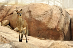 Oreotragus oreotragus saltatrixoides - Klipspringer (Going to the Zoo with Trebaruna) Tags: 15082011 2011 netherlands rotterdam rotterdamzoo diergaardeblijdorp diergaarderotterdam diergaarde animal zooanimal