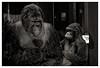 Rencontre du deuxième type (Jean-Marie Lison) Tags: eos550d bruxelles irsnb gorilles noiretblanc nb monochrome ixelles