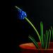 Muscari Armeniacum - Grape Hyacinths | DutchGrown