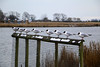 The line up! (myraemery) Tags: gulls birds poole park dorset sea snow cold weather canoneos70d