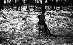 Assistant looking for spring (Rosenthal Photography) Tags: 35mm washiz400 washifilm anderlingen ente ff135 ententeich 20180301 bnw städte schwarzweiss bw lucy olympus35rd analog asa400 dörfer siedlungen winter march blackandwhite olympus olympus35 35rd fzuiko zuiko 40mm f17 washiz washi greenyellowfilter greenyellow filter rodinal 125 epson v800 dog pet forest