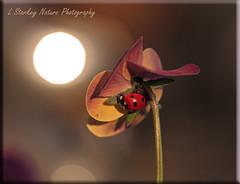 LADYBIRD 3 (DRAGONFLY ADICT) Tags: insects wildlife nature animals bugs ladybirds ladybugs