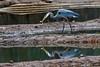 Breakfast (Maggggie) Tags: lakepeachtree greatblueheron bird fish morning breakfast water puddles