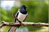 7703 - magpie robin (chandrasekaran a 47 lakhs views Thanks to all) Tags: magpierobin birds nature india chennai canoneos6dmarkii tamronsp150600mmg2