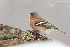Fringuello (Simone Mazzoccoli) Tags: bird nature wild wildlife outdoor winter snow