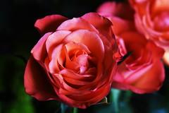 DSC_8994 (PeaTJay) Tags: nikond750 sigma reading lowerearley berkshire macro micro closeups gardens indoors nature flora fauna plants flowers bouquet rose roses rosebuds