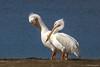 Preening Pelicans (hey its k) Tags: 2018 birds florida nature sanibelisland whitepelican wildlife sanibel unitedstates us img8072e3 tamron 150600mm canon6d pelican