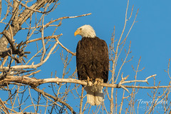 Female Bald Eagle hanging out by her nest