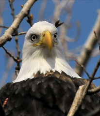 High Up Head And Shoulders (Vidterry) Tags: eagle baldeagle inthewild treetopcloseup
