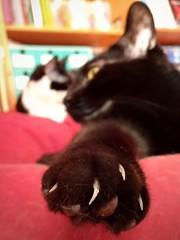 portatore sano di armi (g_u) Tags: gu ugo casa gatti cat poirot mukki unghie