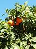 Naranjas! (Azaharito) Tags: mallorca majorka spain hiszpania españa