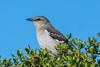 Mimic Mockingbird (MelRoseJ) Tags: oakland california unitedstates us sonyalpha sony sonyilca77m2 a77ii alpha autofocus sal70200g birds bayarea nature northerncalifornia martinlutherkingjrregionalshoreline mockingbird