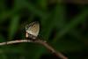 蝶 - Butterfly (Hachimaki123) Tags: 日本 japan 動物 虫 蝶 insect insecto animal mariposa butterfly