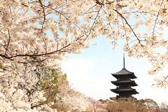 Sakura with pagoda (Teruhide Tomori) Tags: sakura cherry spring tree pagoda 五重塔 kyoto japan japon toji architecture building construction roof tradition 京都 東寺 寺院 春 桜 山桜 日本 庭園 garden