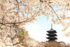 Sakura with pagoda (Teruhide Tomori) Tags: sakura cherry spring tree pagoda 五重塔 kyoto japan japon toji architecture building construction roof tradition 京都 東寺 寺院 春 桜 山桜 日本 庭園 garden