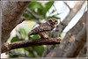 7733 - spotted owlet (chandrasekaran a 47 lakhs views Thanks to all) Tags: spottedowlet owlet birds nature india chennai canoneos6dmarkii tamronsp150600mmg2