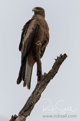 Yellow-billed Kite (robsall) Tags: 2016 500mm 7dmark2 7dmarkii 7dm2 7dmii africa africatourism africawildlifephotography africanwildlife ave aves bird birdofprey birding birds blackkite blackkites canon canon500mmf4lisiiusm canon500mmf4 canon500mmf4lii canon500mmf4ii canon7dmark2 canon7dmarkii canon7d2 canon7dm2 canoneos canoneos7dmark2 canoneos7dm2 family kite kites maparasitus milvusaegyptiusparasitus milvusmigrans robsallaeiral robsalldrone robsalldronephotography robsallphotography robsallwildlifephotography tanzania tanzania2016 vacation yellowbilledkite yellowbilledkites arusha arusharegion