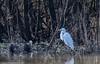 9Q6A8012 (2) (Alinbidford) Tags: alancurtis alinbidford brandonmarsh greatwhiteegret nature wildbirds wildlife