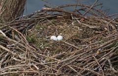 ND5_9516 Eagle's Eggs (Wayne Duke 76) Tags: