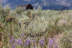 GRAND TETON -Mormon Row Historic District-03 (TravelKees) Tags: natuur usa vakantie bloemen wildflowers barn wyoming grandteton nationalpark