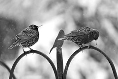 Starlings waiting for the feeders (karma (Karen)) Tags: baltimore maryland home backyard birds starlings dof bokeh mono bw hmbt topf25