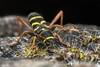 Clytus arietis (www.endlessfields.ch) Tags: switzerland lucerne macro animal macrophotography nature naturephotography animalphotography makro sonya6500 sony schweiz 100mm nissin insect clytus arietis coleoptera bug beetle