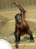 orangutan Sabbar Ouwehand BB2A6075 (j.a.kok) Tags: animal asia azie ouwehands aap ape orangutan orangoetan orang sabbar mammal monkey mensaap zoogdier dier