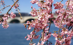 Early cherry blossoms along the Potomac River. (Jill Bazeley) Tags: cherry blossom tree flower sakura prunus serrulata festival april spring march potomac river memorial bridge washington dc sony a6300 zeiss 1670mm west park nature sky branch pink bloom flowers blooming plant season beauty flora branches japanese petal japan gift