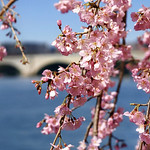 Early cherry blossoms along the Potomac River. thumbnail
