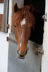 Nevada in der Box (christian.riede) Tags: nevada freiberger pferd horse stall box stable gesicht face