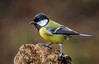 Great Tit (Tony Smith Photo's) Tags: beak beauty bird birds branch closeup color colour eye fly forest garden isolated little natural nature perched songbird stump tree white wild wildlife wing wings yellow animal background beautiful birding birdlife birdwatching chickadee colorful countryside cute european feather feathered great greattit life major one ornithology outdoor parus parusmajor passerine perch perching plumage single small tiny tit tits winged