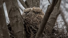 After a tough night...Great horned owls (flintframer) Tags: great horned owlets harrison county indiana usa america wow dattilo nature wildlife raptors owls nest nesting treetops canon eos 7d markii ef600mm 14x