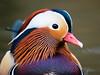 Mandarin Drake Portrait (Susanne Leyh) Tags: bird animal wildlife duck mandarinduck mandarindrake vogel nature natur water lake mandarinente ente