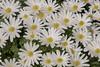 Frühlingsboten (Jo&Ma) Tags: closeup makro nahaufnahme outdoor farben grün weiss gelb schweiz alpen aufblühen bestäubung blühen blume blüte botanik frühling garten knospe kraut natur verblüht wiese wiesenblume