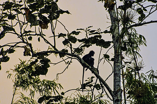 Spectacled Langur (Semnopitheque obscur, Trachypithecus obscurus) and its child in the sunrise light. Khao Sok National Park, Thailand, 2018/03/03.