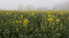 Brume matinale sur le colza - Mist on the rapeseed (Nadine Le Goff) Tags: brume mist colza printemps spring