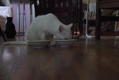 sampling bowl 2, now (rootcrop54) Tags: charlie amusing eating ritual really slow savorthemoment white allwhite male cat feeding set neko macska kedi 猫 kočka kissa γάτα köttur kucing gatto 고양이 kaķis katė katt katze katzen kot кошка mačka gatos maček kitteh chat ネコ
