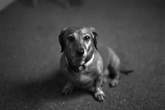Woof. (mattt1970) Tags: nikonf6 fujiacros100 nikkor50mmf18gafs hc110b su800 film analog blackandwhite 35mm dog dachshund bokeh bw