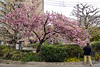Cherry Tree (pons5607_3) Tags: cherry pink sony ilca77m2 dt1750mmf28 nagoya 名古屋 flower travel 日本