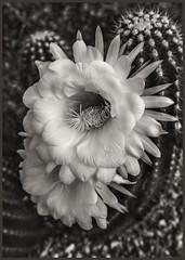 Night-Blooming Cactus #2 2018; Condo (hamsiksa) Tags: plants flora succulents xerophytes cactus cacti cactaceae blossoms blooms flowers nightbloomingflowers horticultue landscaping blackwhite desertplants desert sonorandesert arizona tucson