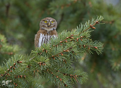 Out on a Limb (Northern Pygmy Owl) (The Owl Man) Tags: