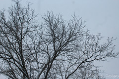 Bare Branches (vickieklinkhammer) Tags: tree branch plant nature sky winter forest snow outdoors outdoor wood woodyplant cloudy oak twig noperson large land season cloud tall frost weather blackandwhite day trunk freezing silhouette alone desktop top standing environment group solitude landscape street fog field bright air outside iowa 2018 foggy blue bare bareness overcast daytime