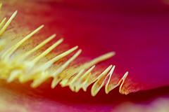 zigzag (mariola aga) Tags: plant petal tulip pattern zigzag edge sharp pink red yellow macro closeup abstract flower nature art coth alittlebeauty
