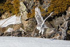DSC_4139 (Pixelpics1) Tags: snowyowl bird owl