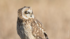 Short-eared Owl (Asio flammeus) (Tony Varela Photography) Tags: shortearedowl asioflammeus seow photographertonyvarela owl