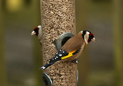 Goldfinches on the feeders