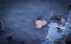 Melt Down (cachepphotography) Tags: ice water blue canon maple leaf ef 24105mm f4l is usm
