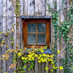 Happy Window Wednesday! (Janos Kertesz) Tags: window fenster münchen bayern munich bavaria overgrown green plant nature old foliage leaf ivy architecture creeper background leaves efeu