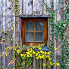 Happy Window Wednesday! (Janos Kertesz) Tags: window fenster münchen bayern munich bavaria overgrown green plant nature old foliage leaf ivy architecture creeper background leaves efeu